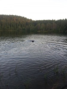 Svømmetur med Bavac en sen sommerkveld