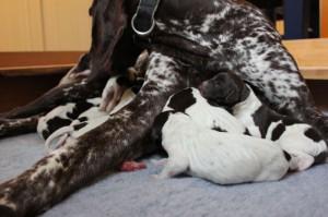 Penny med nyfødte valper 2